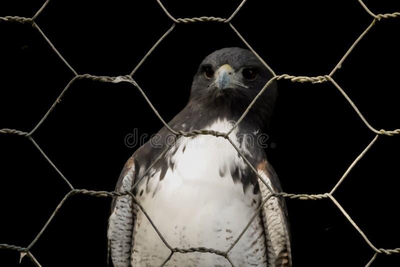 Faucon en captivité derrière la barrière photos stock