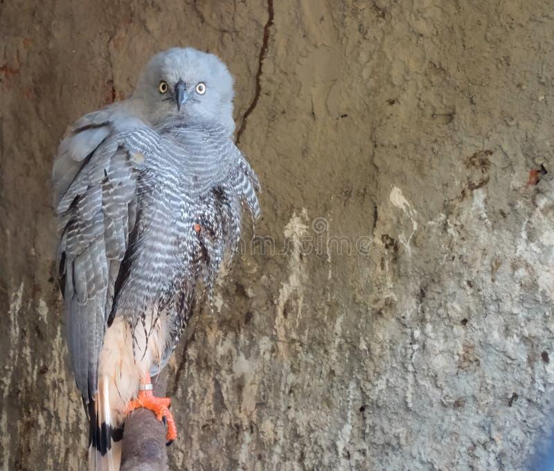 faucon en captivité posant pour la caméra photo libre de droits
