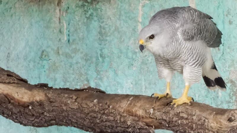 Faucon en captivité posant pour la caméra photographie stock