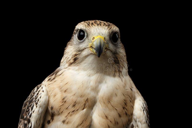 Faucon en gros plan de Saker, cherrug de Falco, d'isolement sur le fond noir photos libres de droits