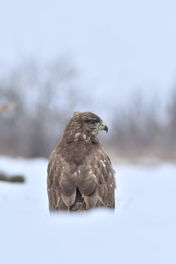 Faucon en hiver images libres de droits