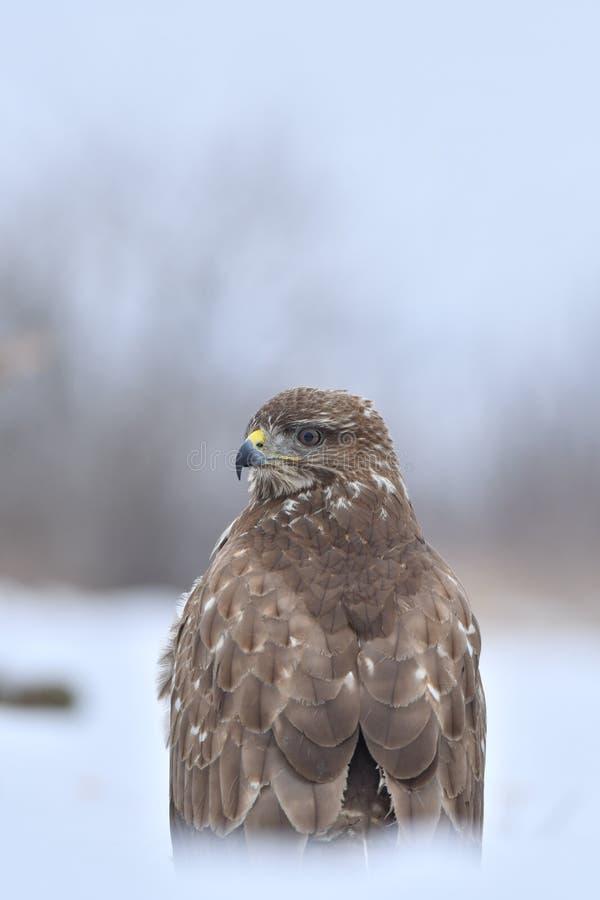 Faucon en hiver image stock