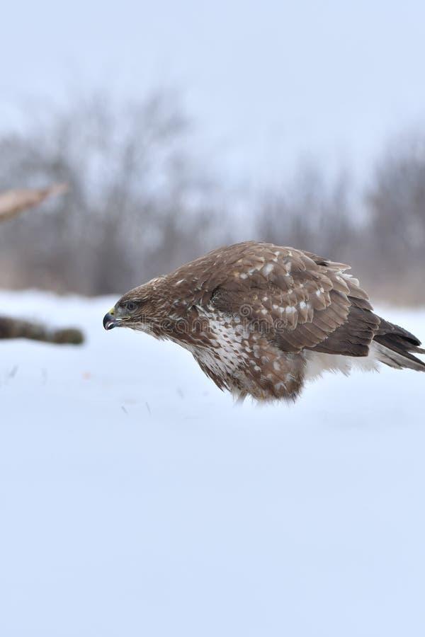 Faucon en hiver photo libre de droits