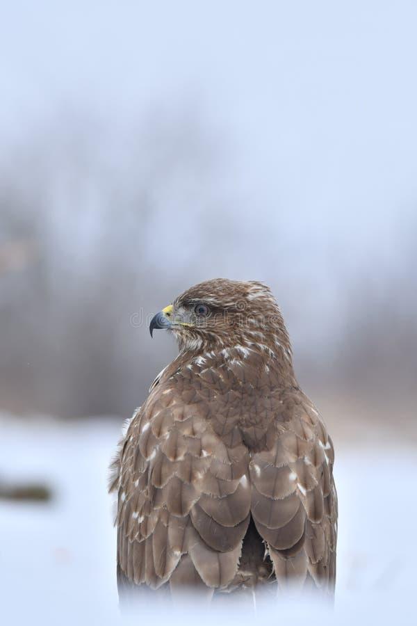 Faucon en hiver photographie stock