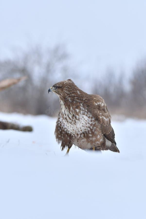 Faucon en hiver image libre de droits