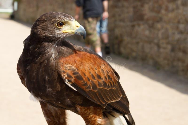 Faucon (Falco) photos libres de droits