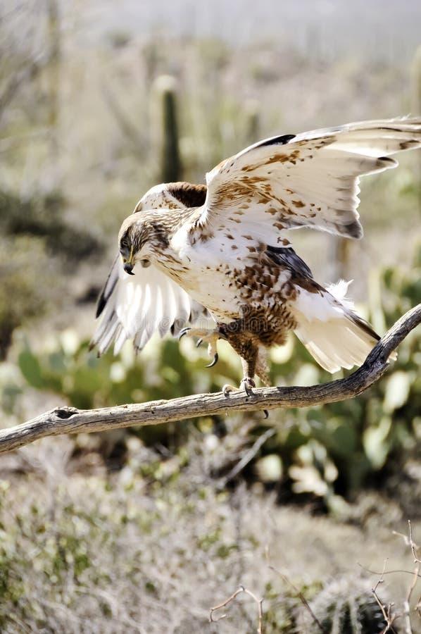 Faucon ferrugineux photos stock