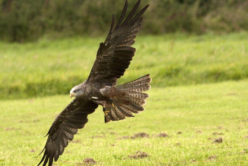 Faucon ferrugineux volant photo stock