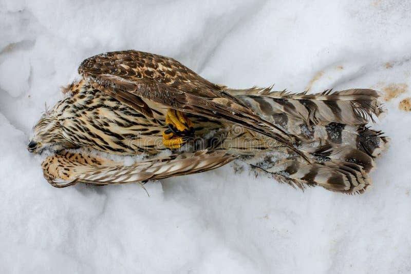 Faucon froid dans la neige photo libre de droits