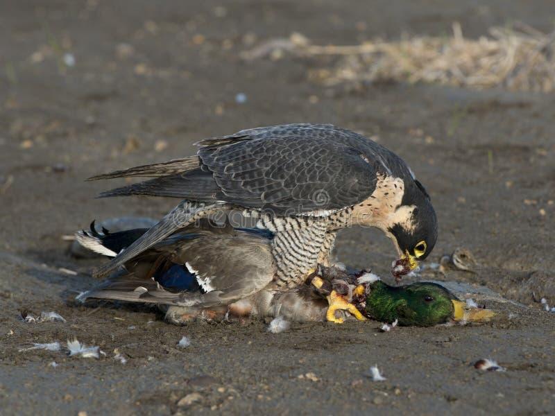 Faucon mangeant un canard photographie stock