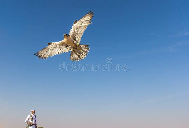Faucon masculin de saker pendant une exposition de vol de fauconnerie à Dubaï, EAU photos libres de droits