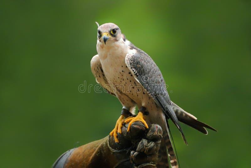 Faucon migrateur se reposant sur les gants falconic photo stock