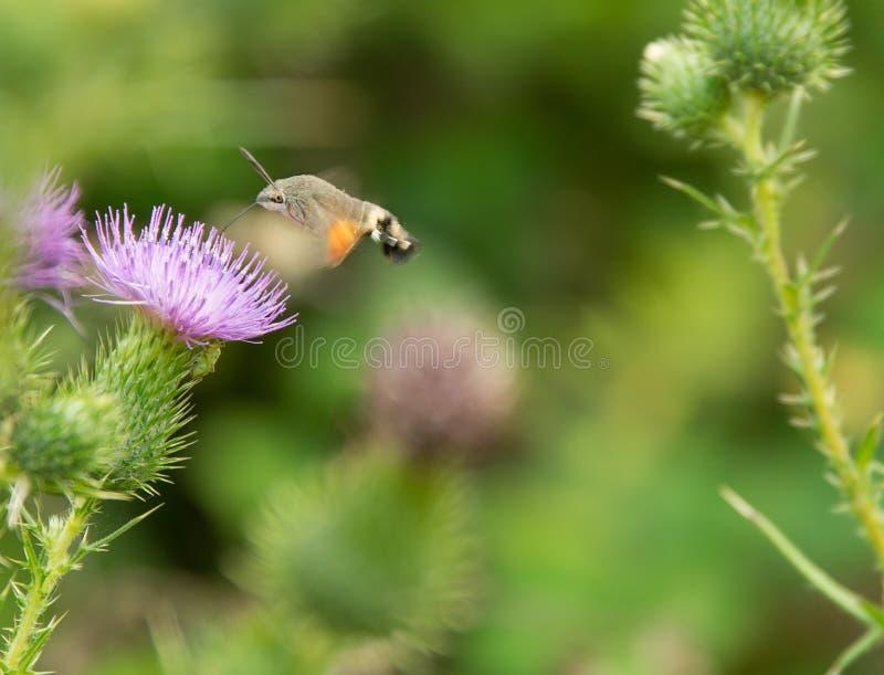 Faucon-mite de colibri photographie stock libre de droits