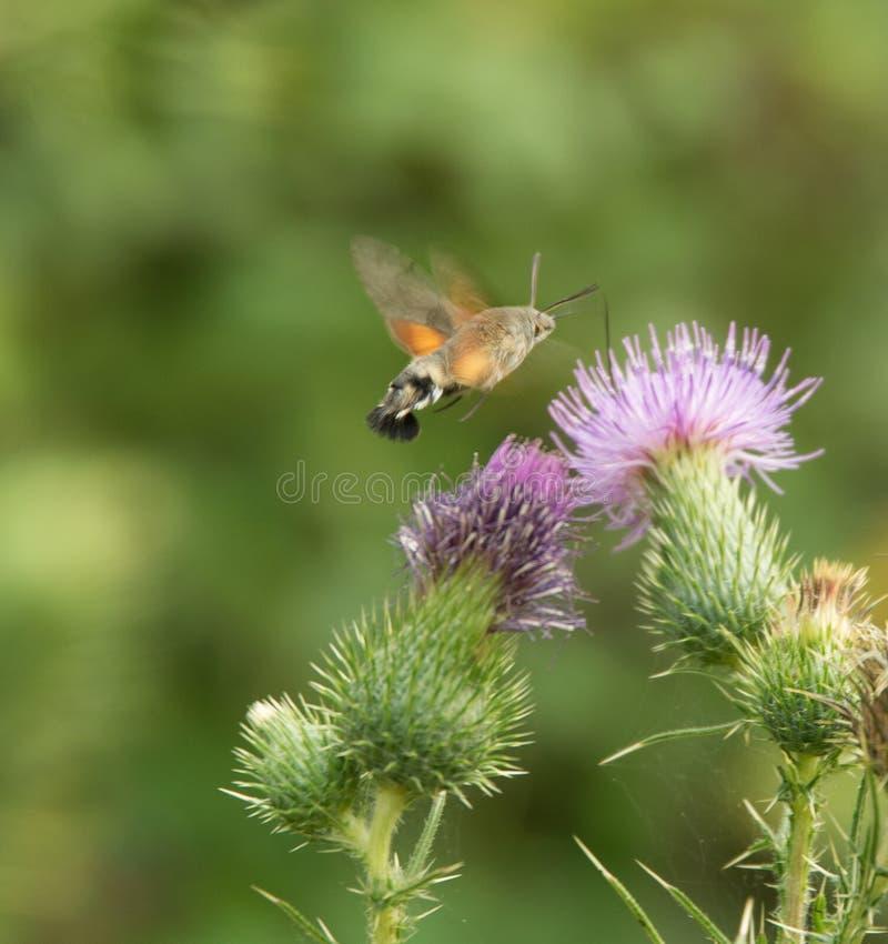 Faucon-mite de colibri photographie stock
