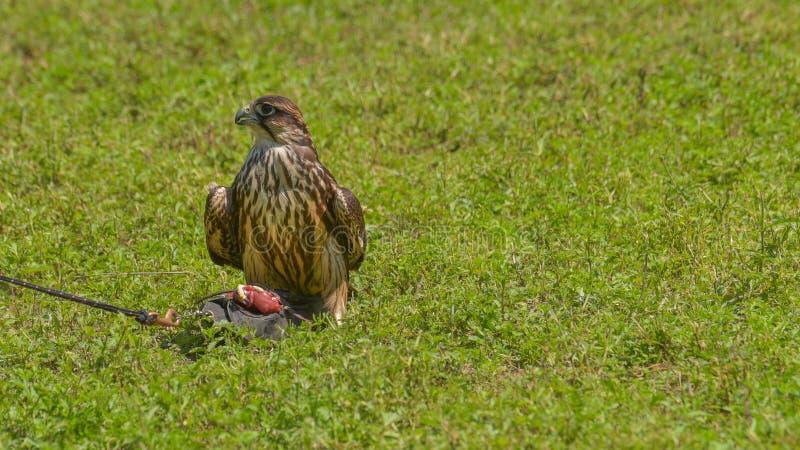Faucon pérégrin étendu sur l'herbe images stock
