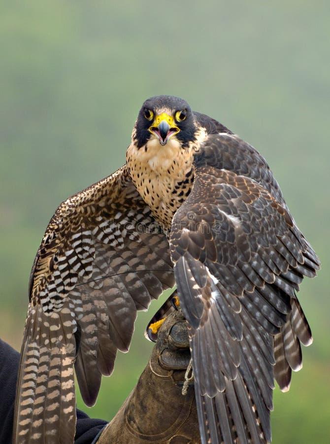 Faucon pérégrin photo libre de droits