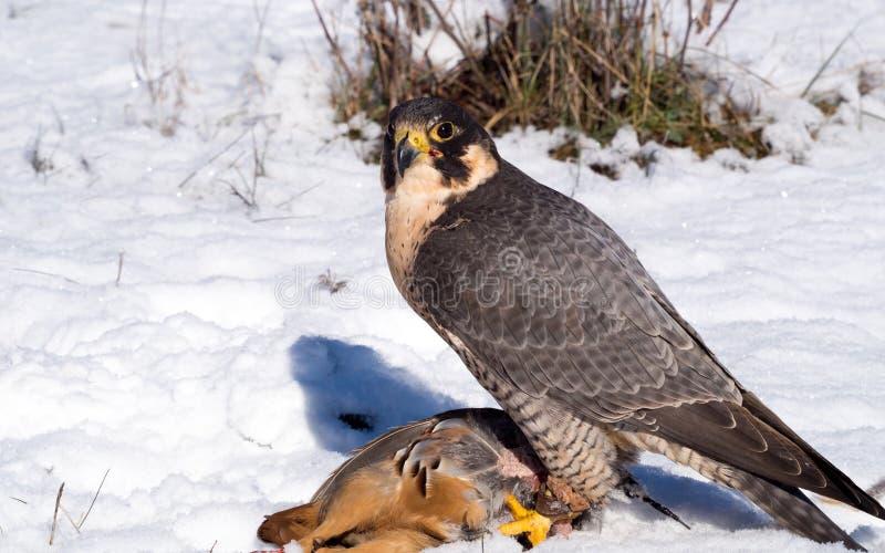 Faucon pérégrin avec sa proie de perdrix photographie stock libre de droits