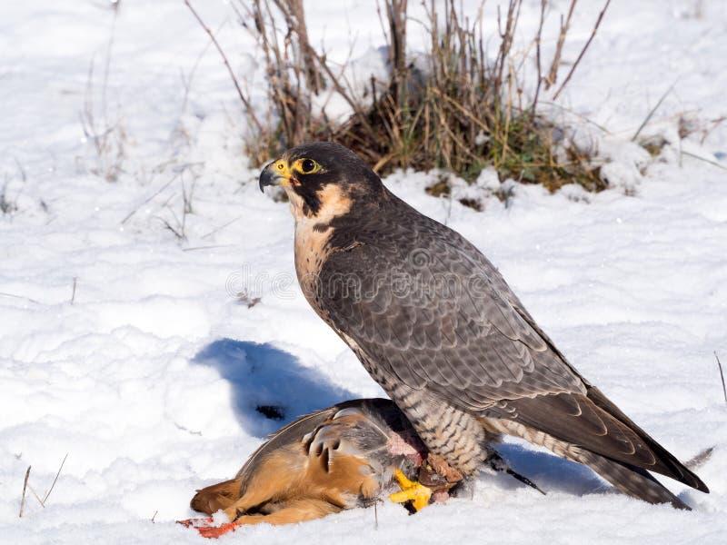 Faucon pérégrin avec sa proie de perdrix photo libre de droits