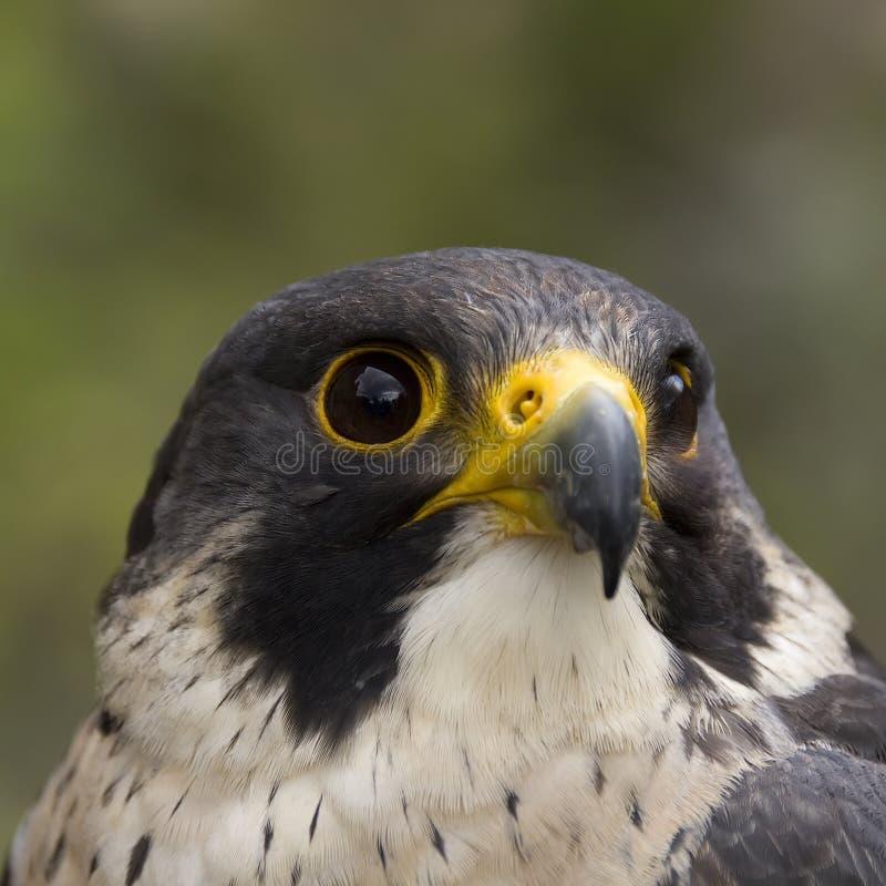 Faucon pérégrin - crécerelle photo libre de droits