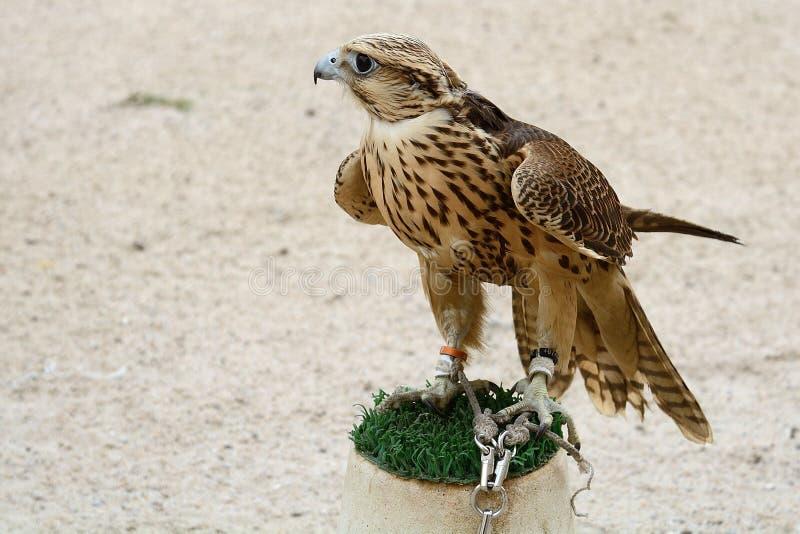 Faucon pérégrin, Doha, Qatar photos libres de droits