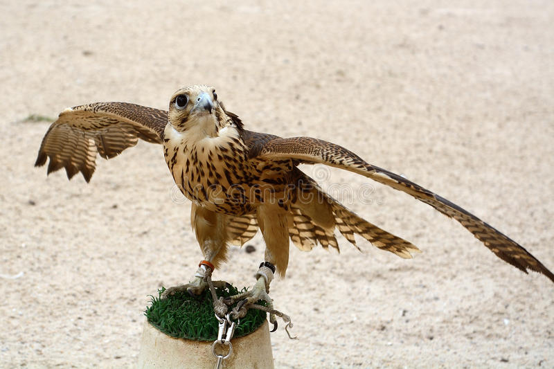 Faucon pérégrin, Doha, Qatar image libre de droits