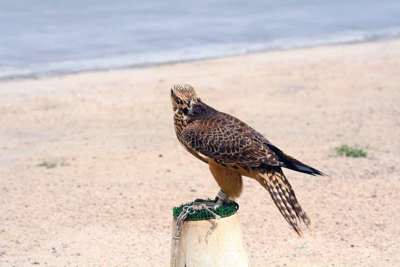 Faucon pérégrin, Doha, Qatar images stock