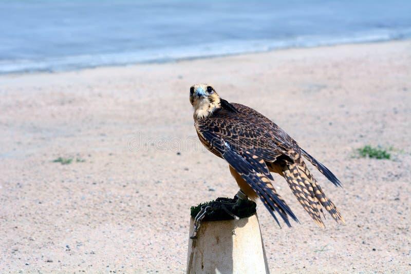Faucon pérégrin, Doha, Qatar image stock