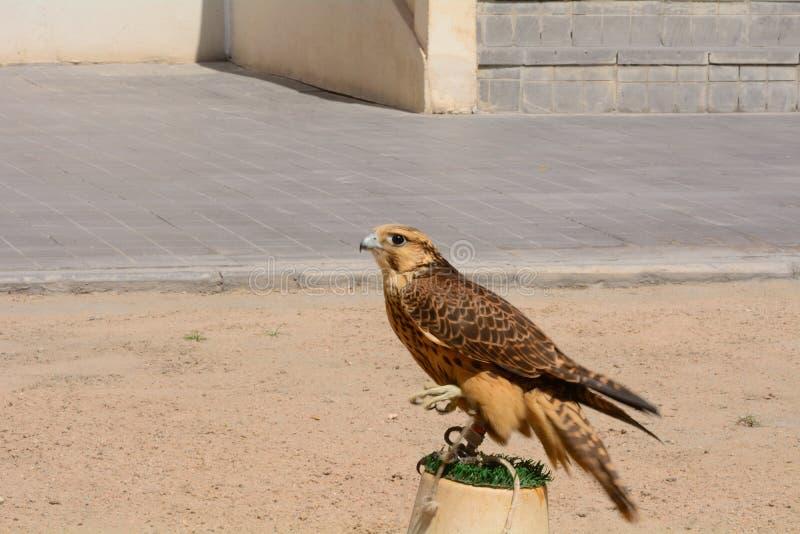 Faucon pérégrin, Doha, Qatar images libres de droits