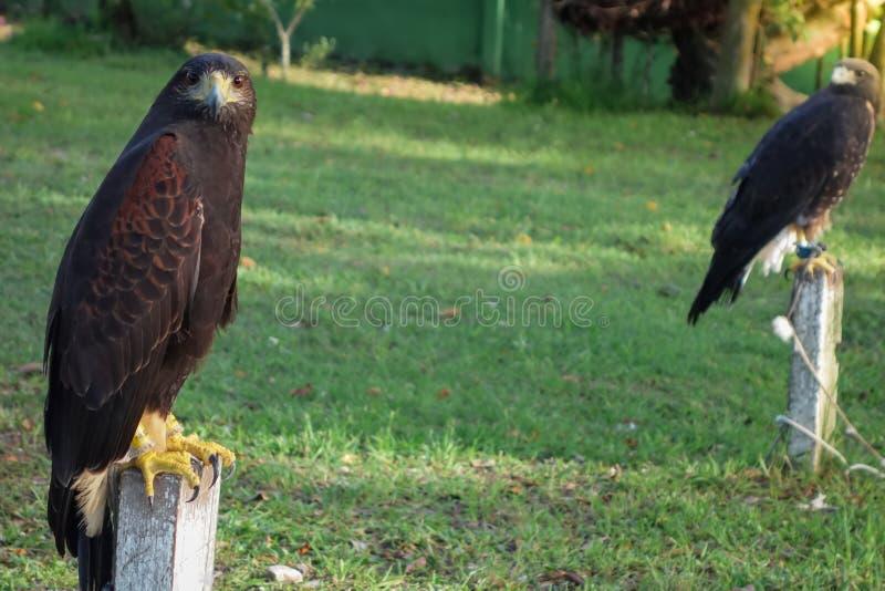 Faucon pérégrin en captivité posant pour la caméra image libre de droits