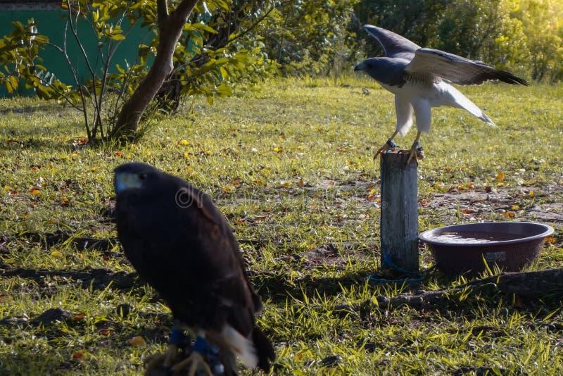 Faucon pérégrin en captivité posant pour la caméra photos stock