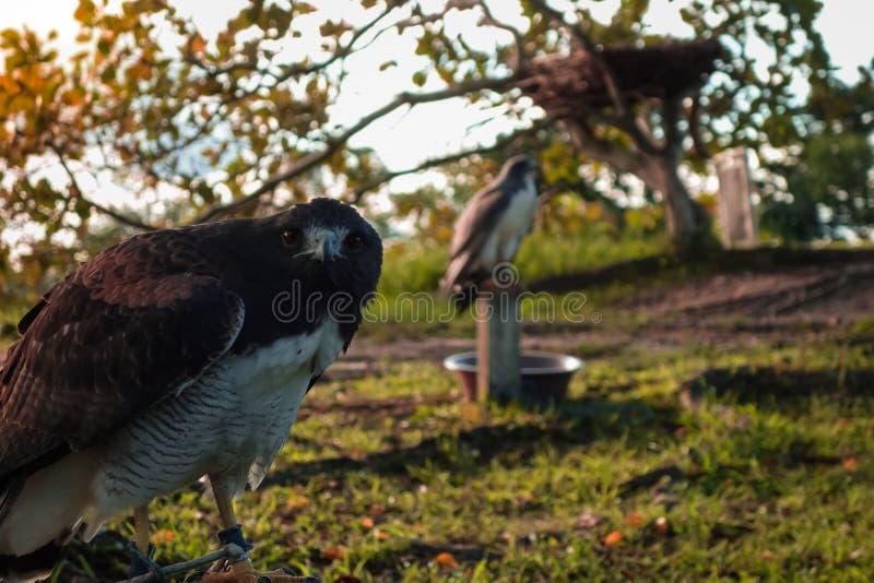 Faucon pérégrin en captivité posant pour la caméra photographie stock