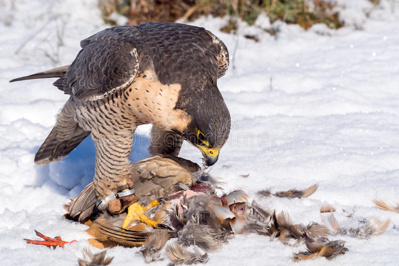 Faucon pérégrin mangeant sa proie de perdrix images stock