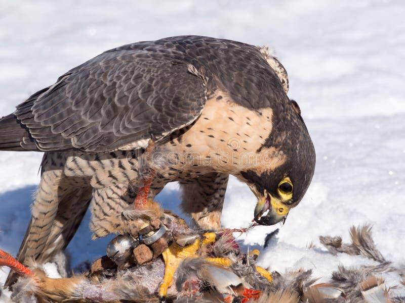 Faucon pérégrin mangeant sa proie de perdrix photos libres de droits