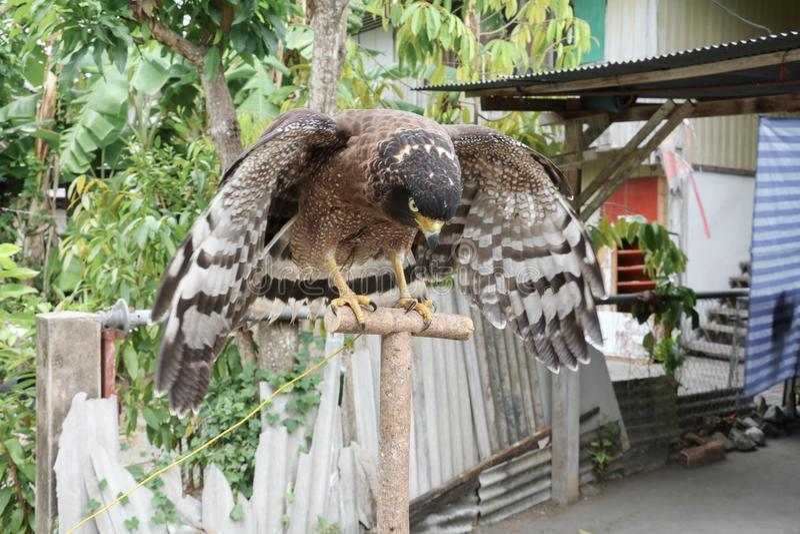 Faucon pérégrin ou aigle d'or beau image libre de droits