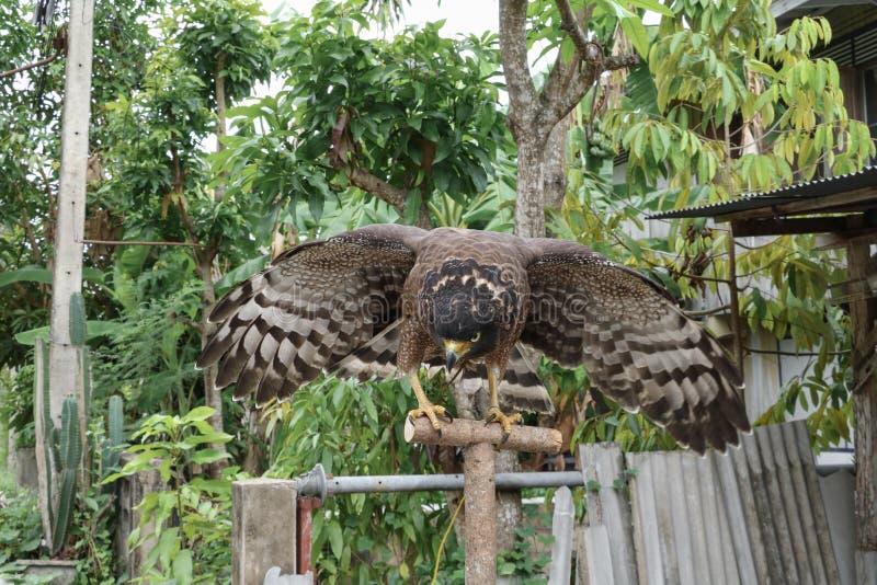 Faucon pérégrin ou aigle d'or beau photographie stock libre de droits