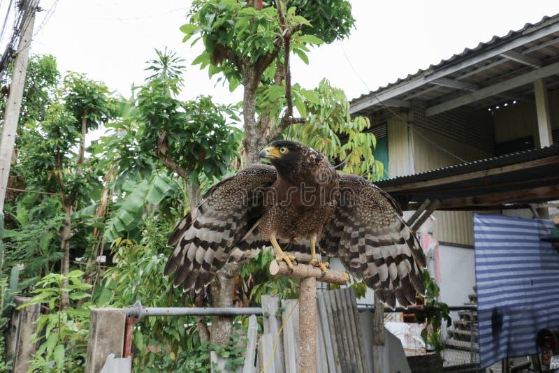 Faucon pérégrin ou aigle d'or beau photos libres de droits
