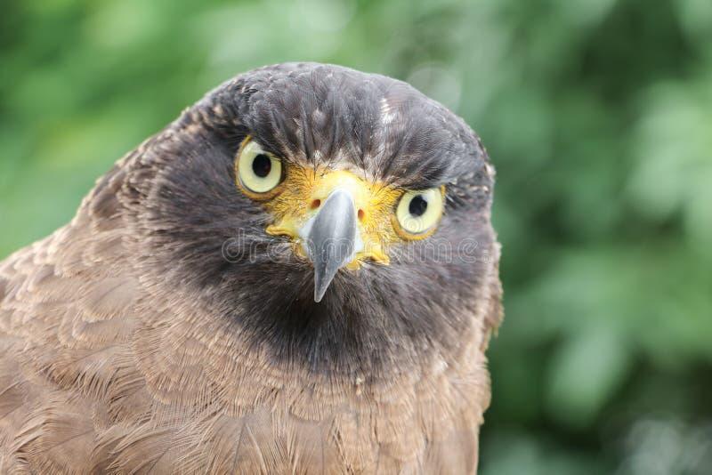 Faucon pérégrin ou aigle d'or beau image stock