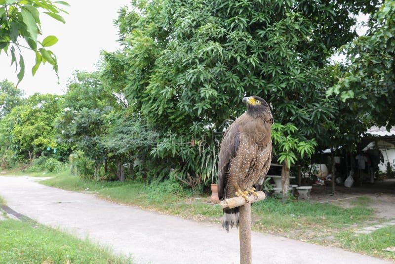 Faucon pérégrin ou aigle d'or beau photographie stock