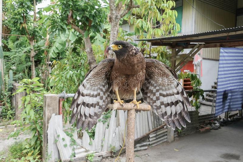 Faucon pérégrin ou aigle d'or beau images libres de droits