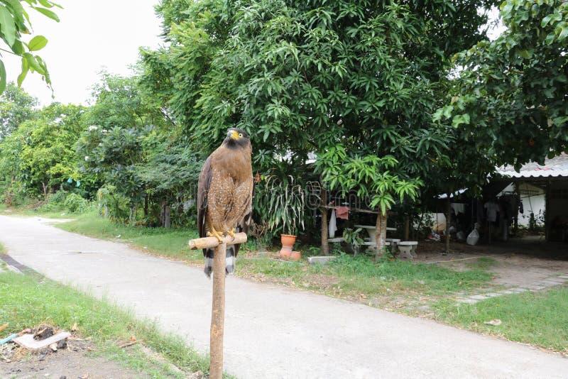Faucon pérégrin ou aigle d'or beau photo libre de droits