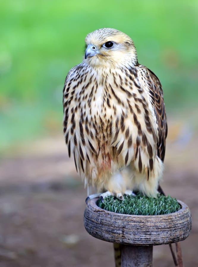 Faucon pérégrin (peregrinus de Falco) photographie stock libre de droits