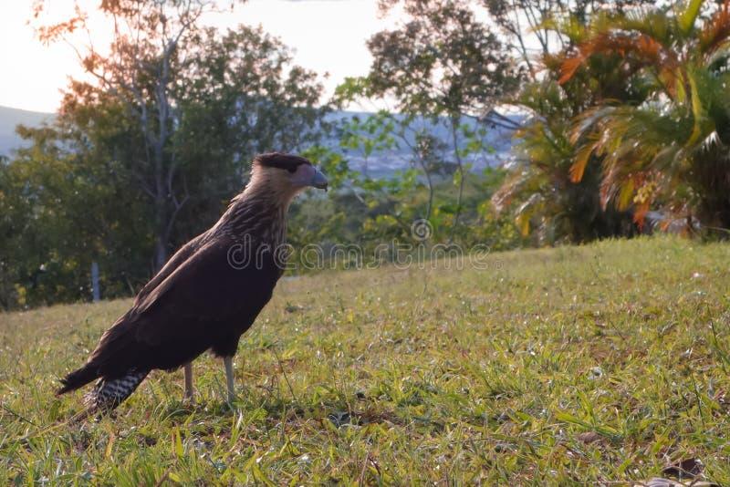 Faucon pérégrin posant pour la caméra image libre de droits