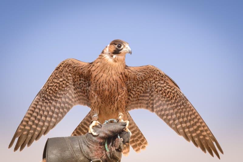 Faucon pérégrin - règlement bédouin - Al Maha - EAU photo stock