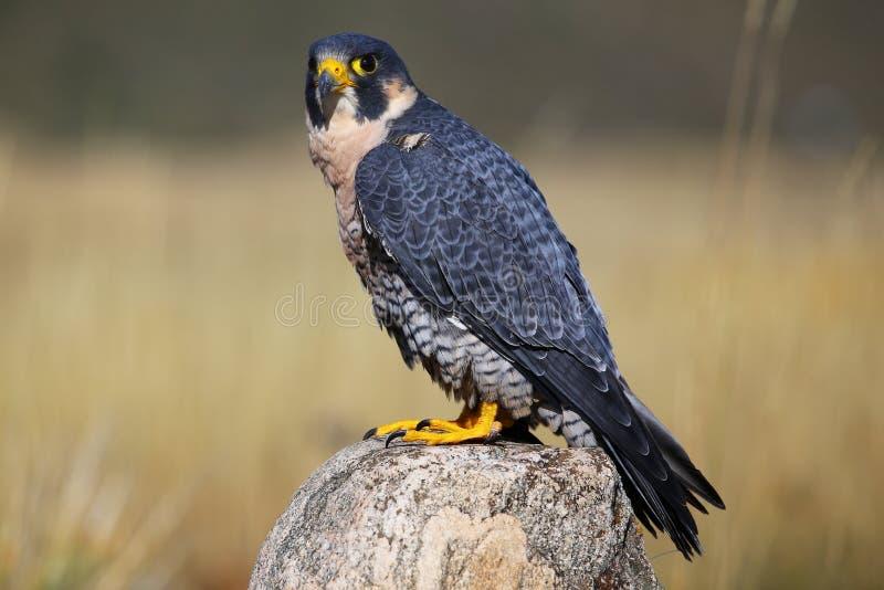 Faucon pérégrin se reposant sur une roche photo libre de droits