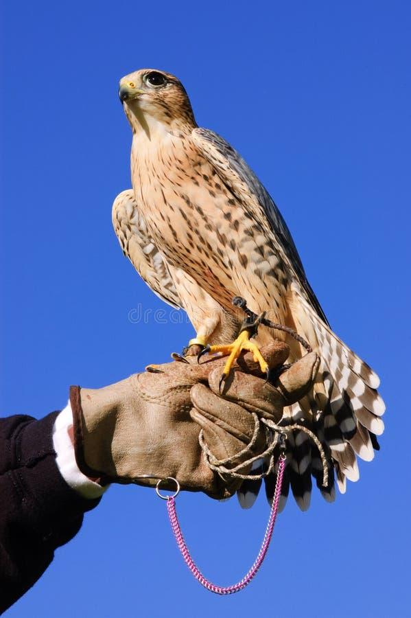 Faucon pérégrin sur le gant photo libre de droits