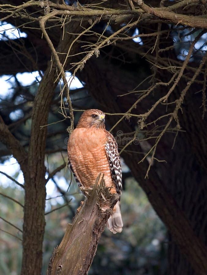 faucon Rouge-épaulé. photo stock