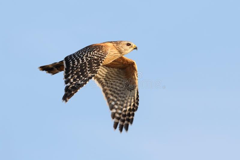 faucon Rouge-épaulé en vol - la Floride photo libre de droits