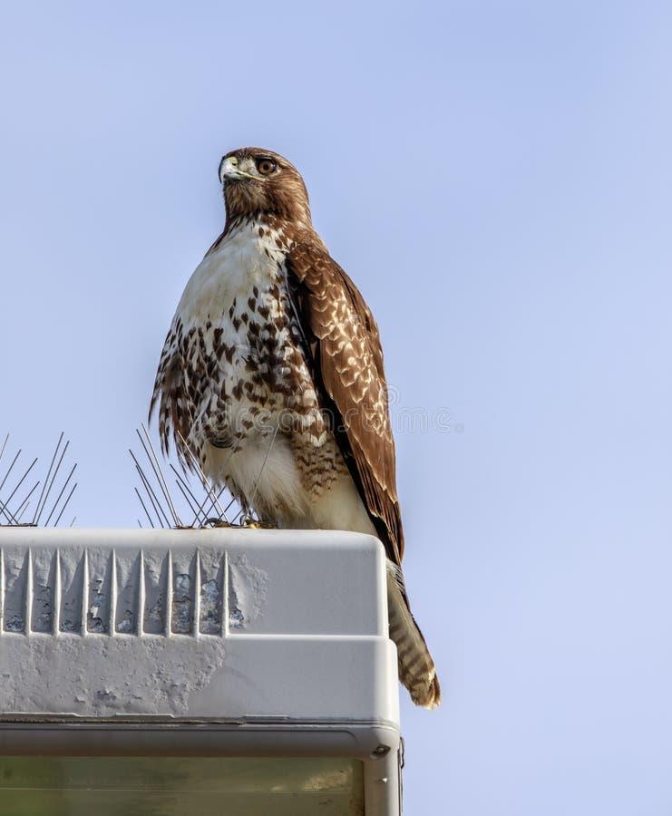 faucon Rouge-coupé la queue et x28 ; jamaicensis& x29 de buteo ; Jeune été perché près des transitoires d'oiseau photo stock