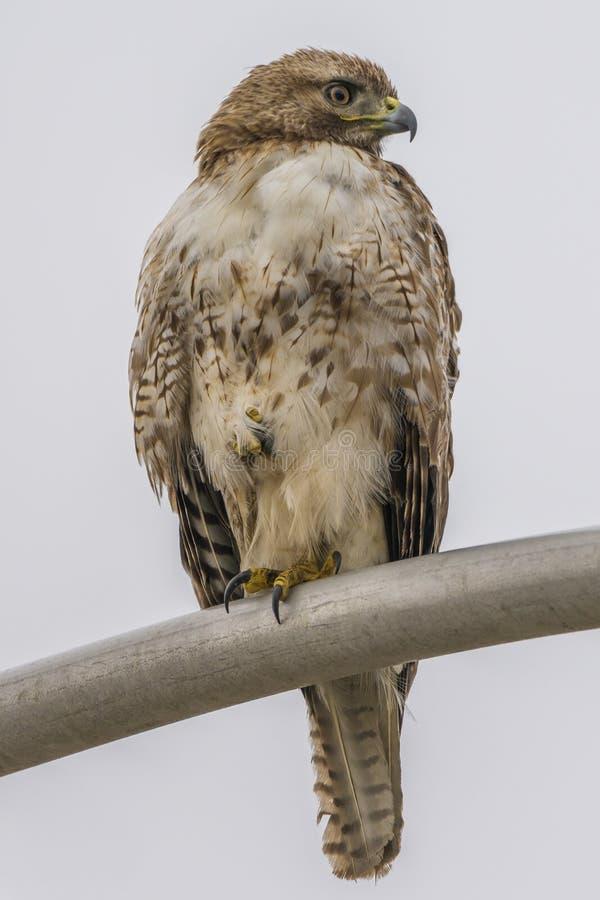 Faucon Rouge-coupé la queue se reposant sur un réverbère regardant vers la gauche photos stock
