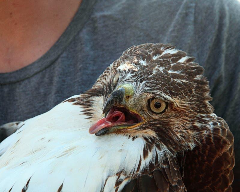Faucon rouge nouvellement capturé de queue images libres de droits